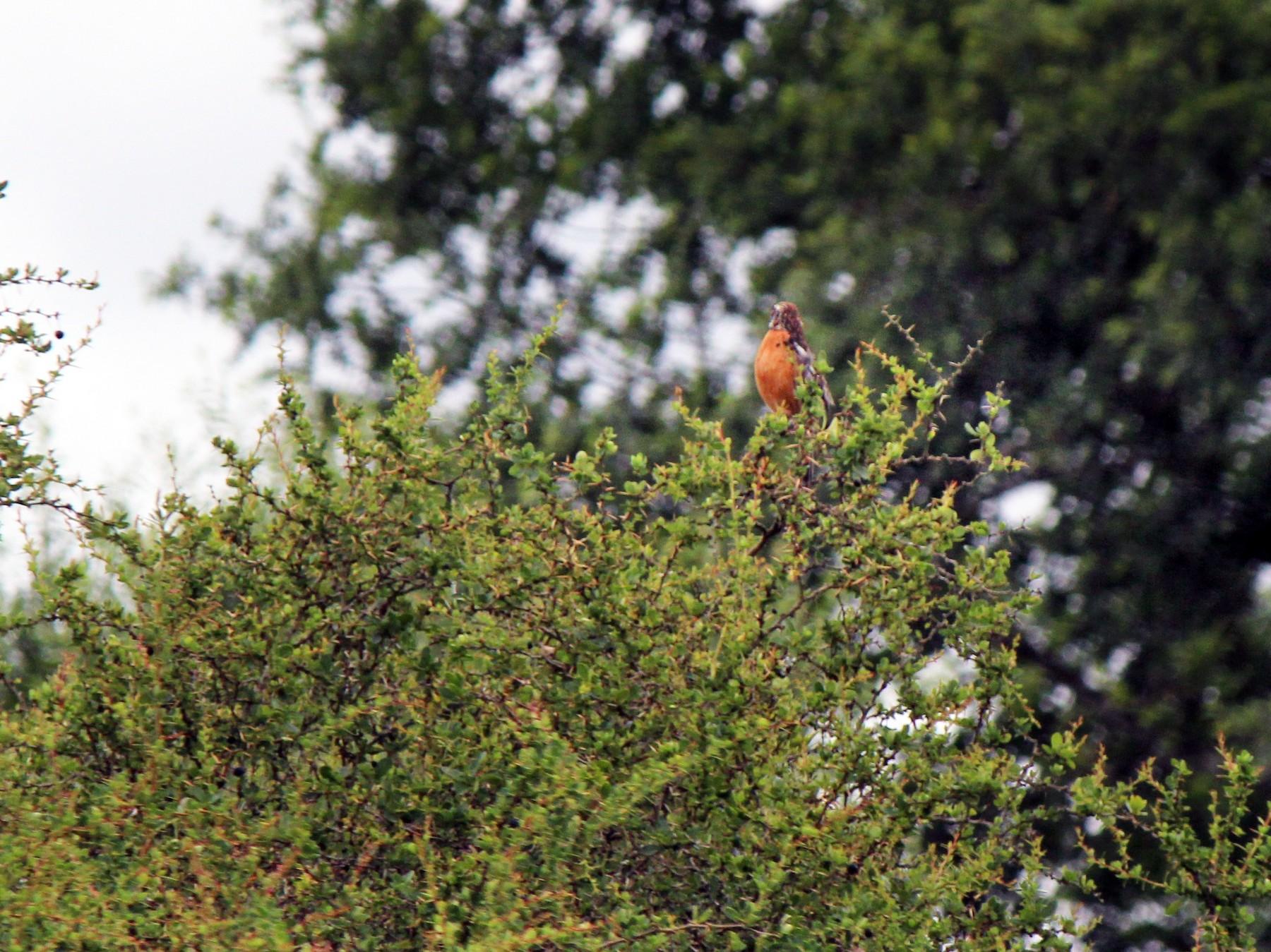Rufous-tailed Plantcutter - Margarita Parraguez