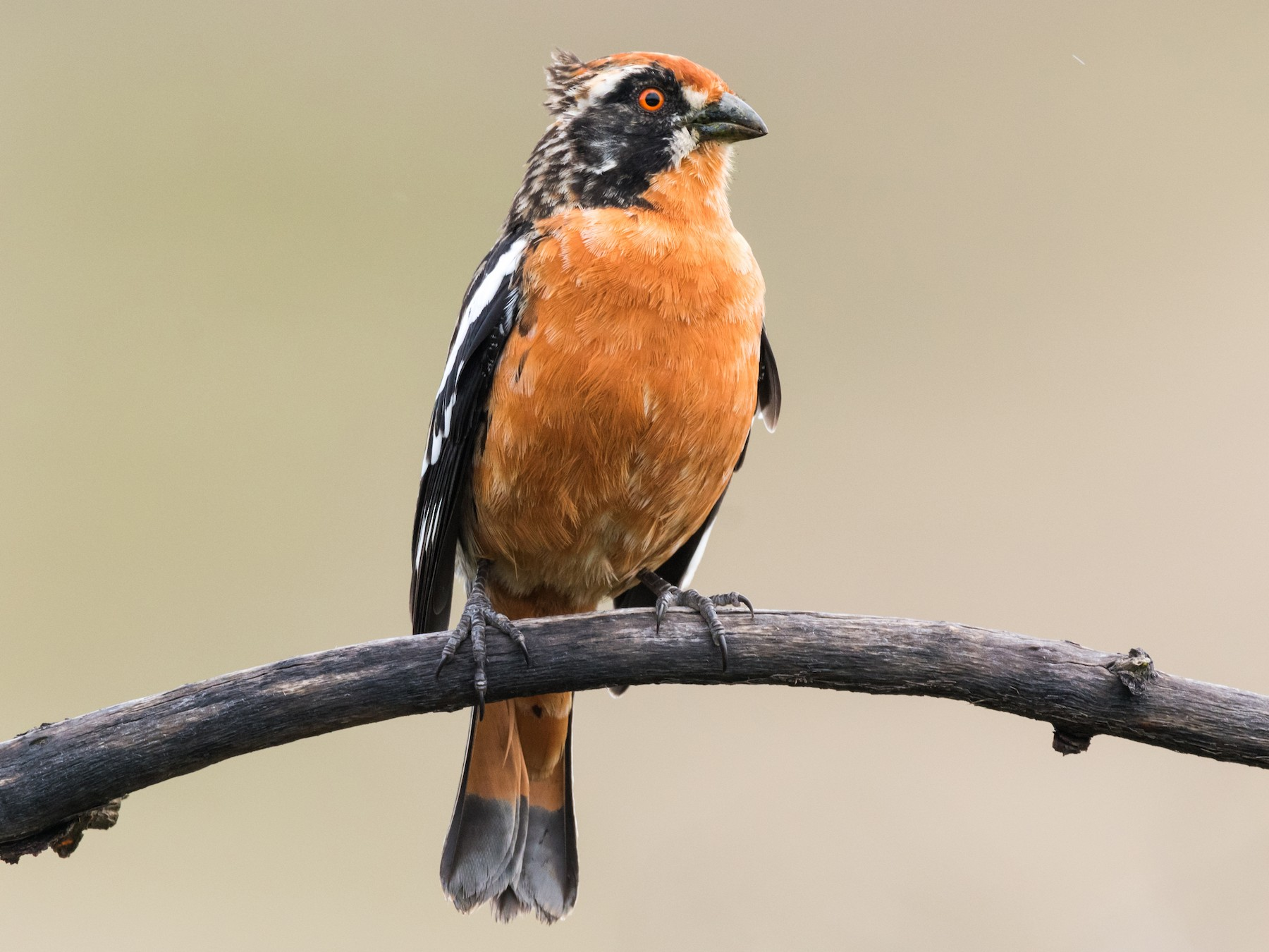 Rufous-tailed Plantcutter - Claudia Brasileiro