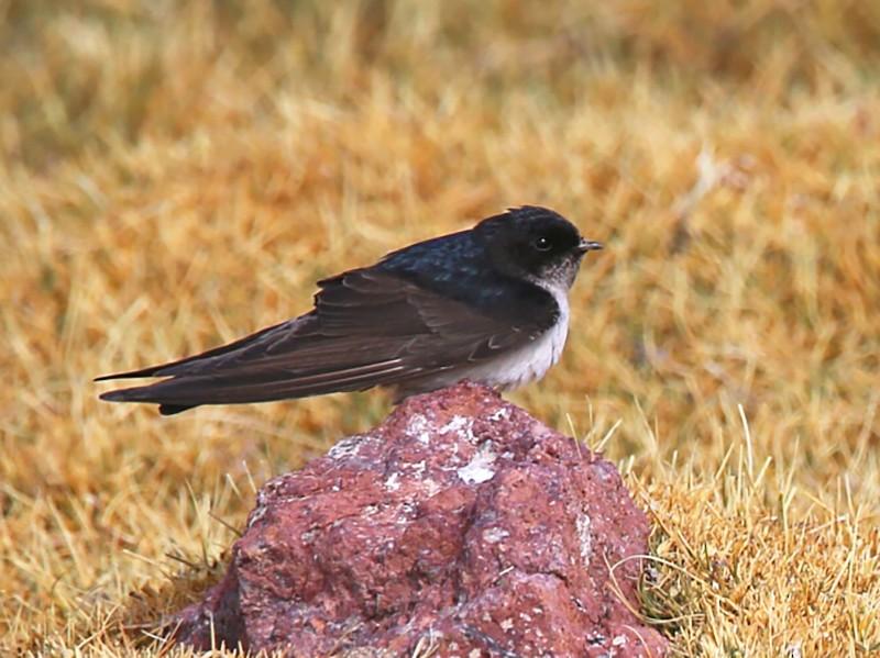 Andean Swallow - Juan Figueroa Castillo