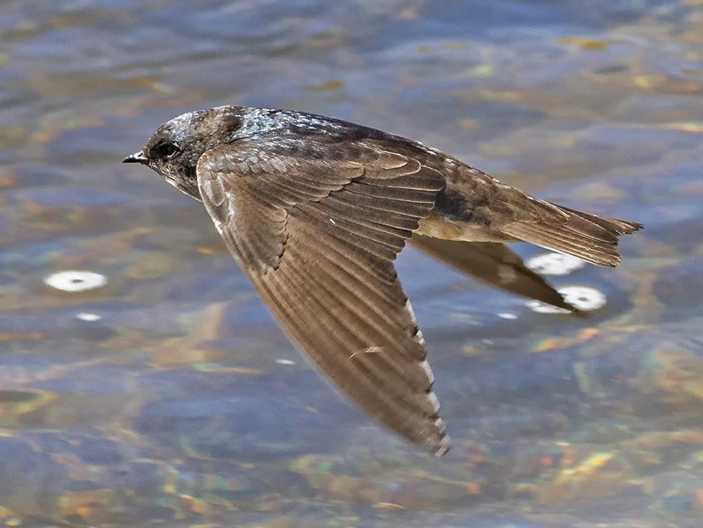 Andean Swallow - VERONICA ARAYA GARCIA