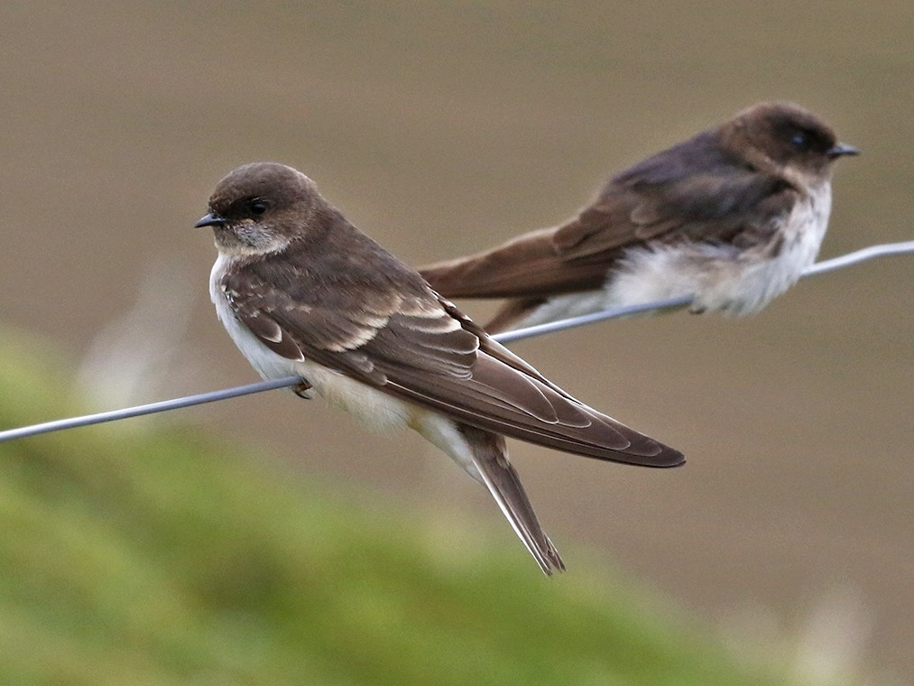 Andean Swallow - Pedro Eduardo Allasi Condo