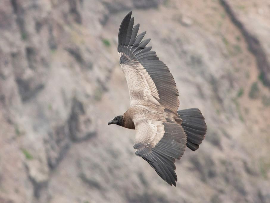 Andean Condor - Ariel Cabrera Foix