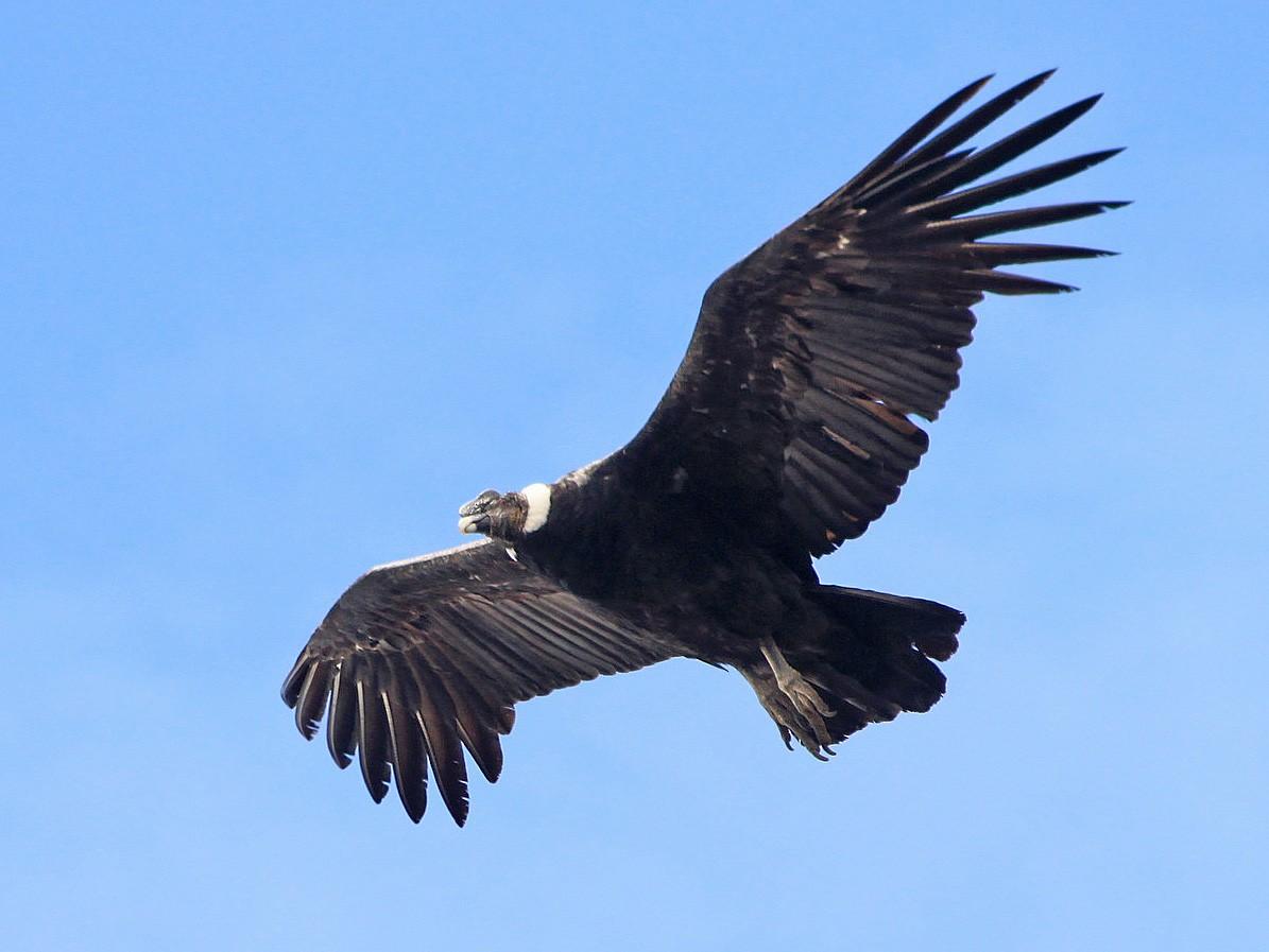 Andean Condor - Nuno Gonçalves