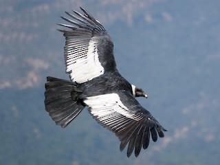 - Andean Condor