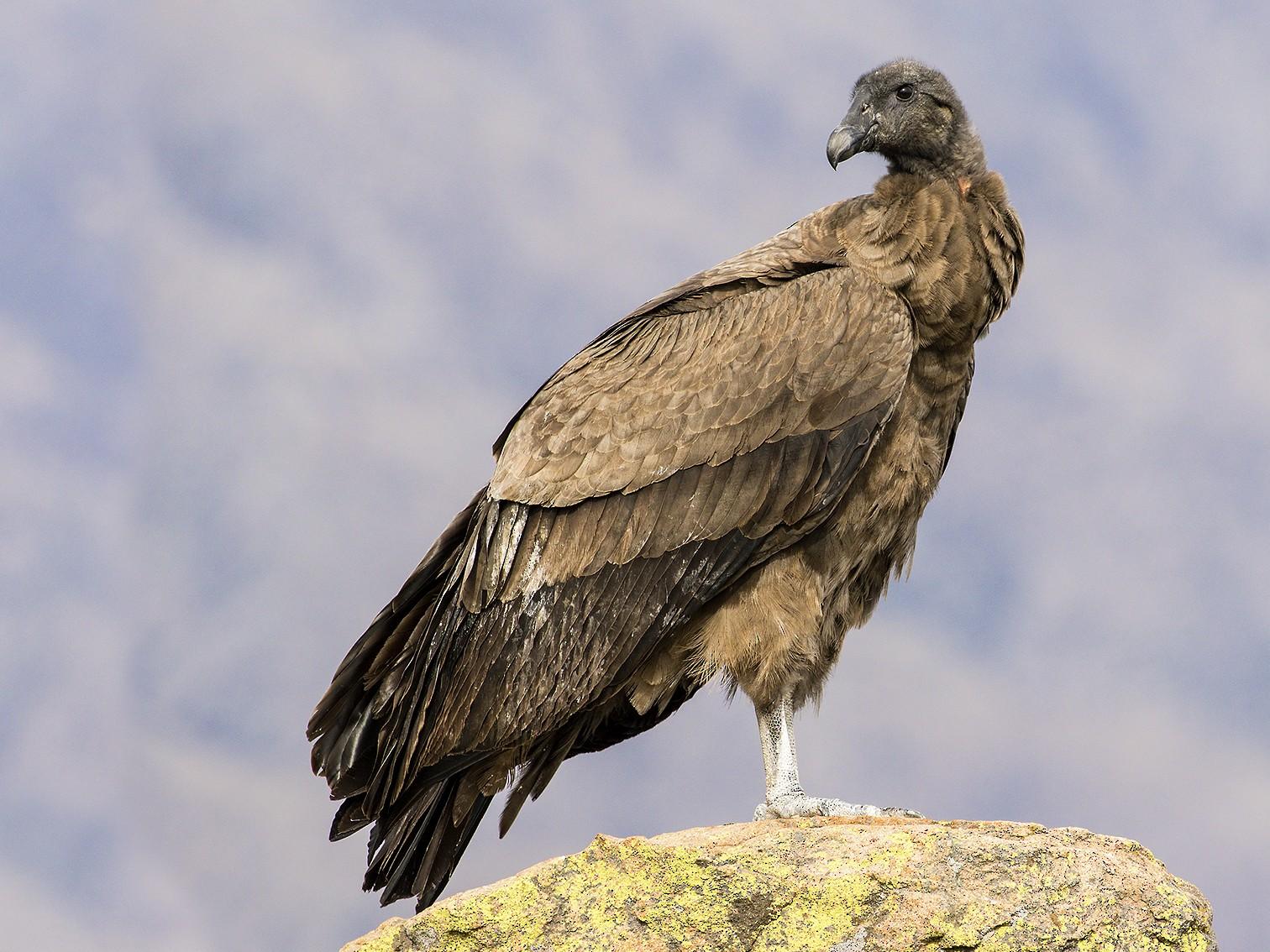 Andean Condor - Evangelina Indelicato