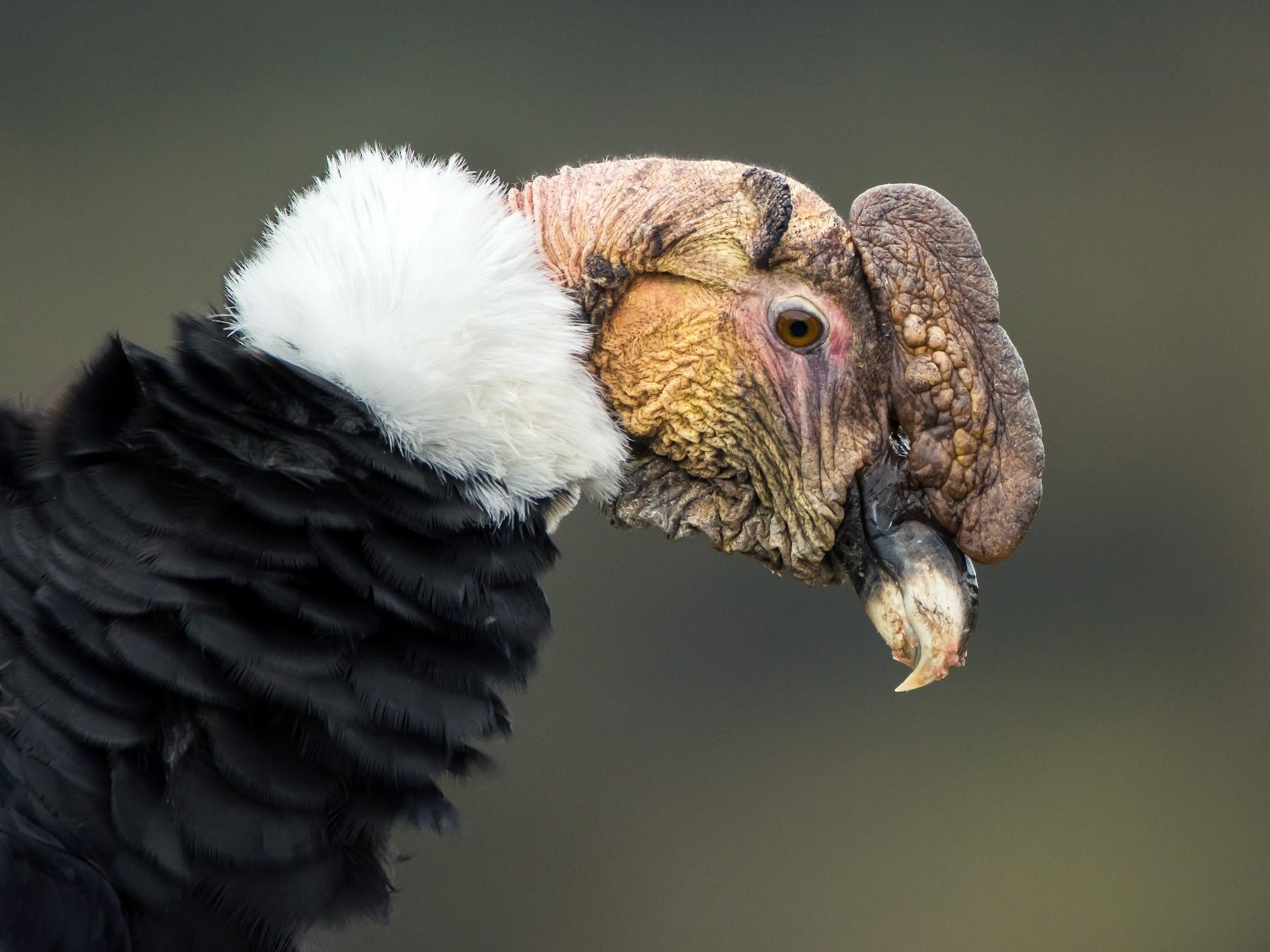 Andean Condor - Dorian Anderson