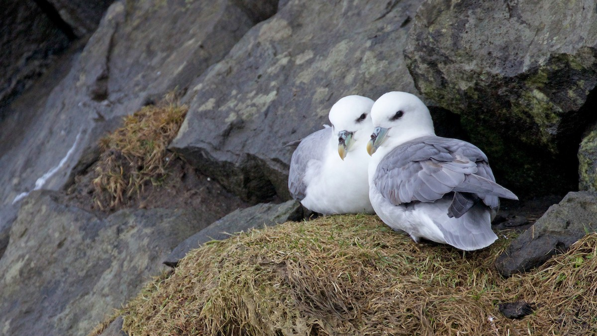 Northern Fulmar (Atlantic)