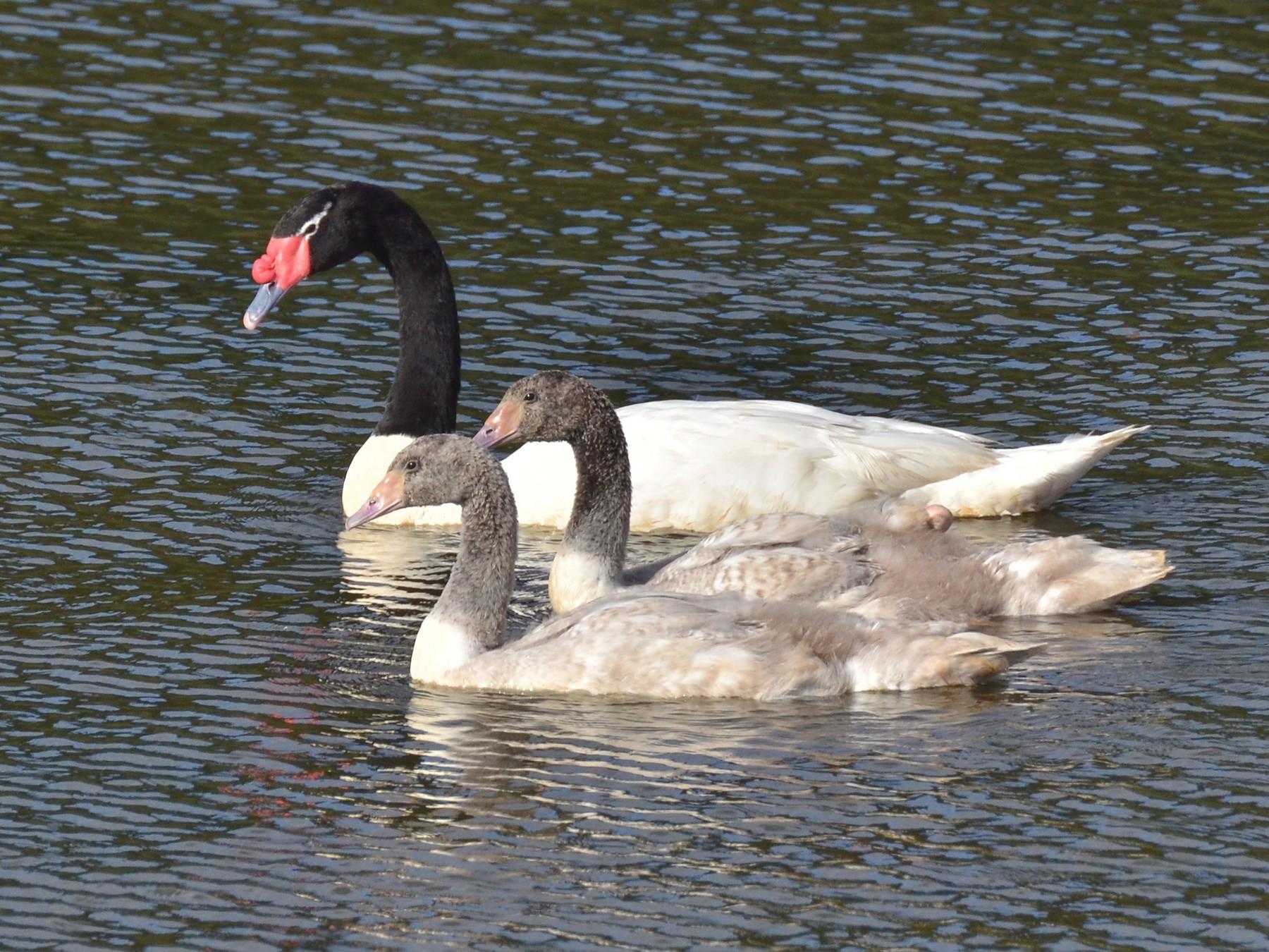 Black-necked Swan - Pablo Gutiérrez Maier