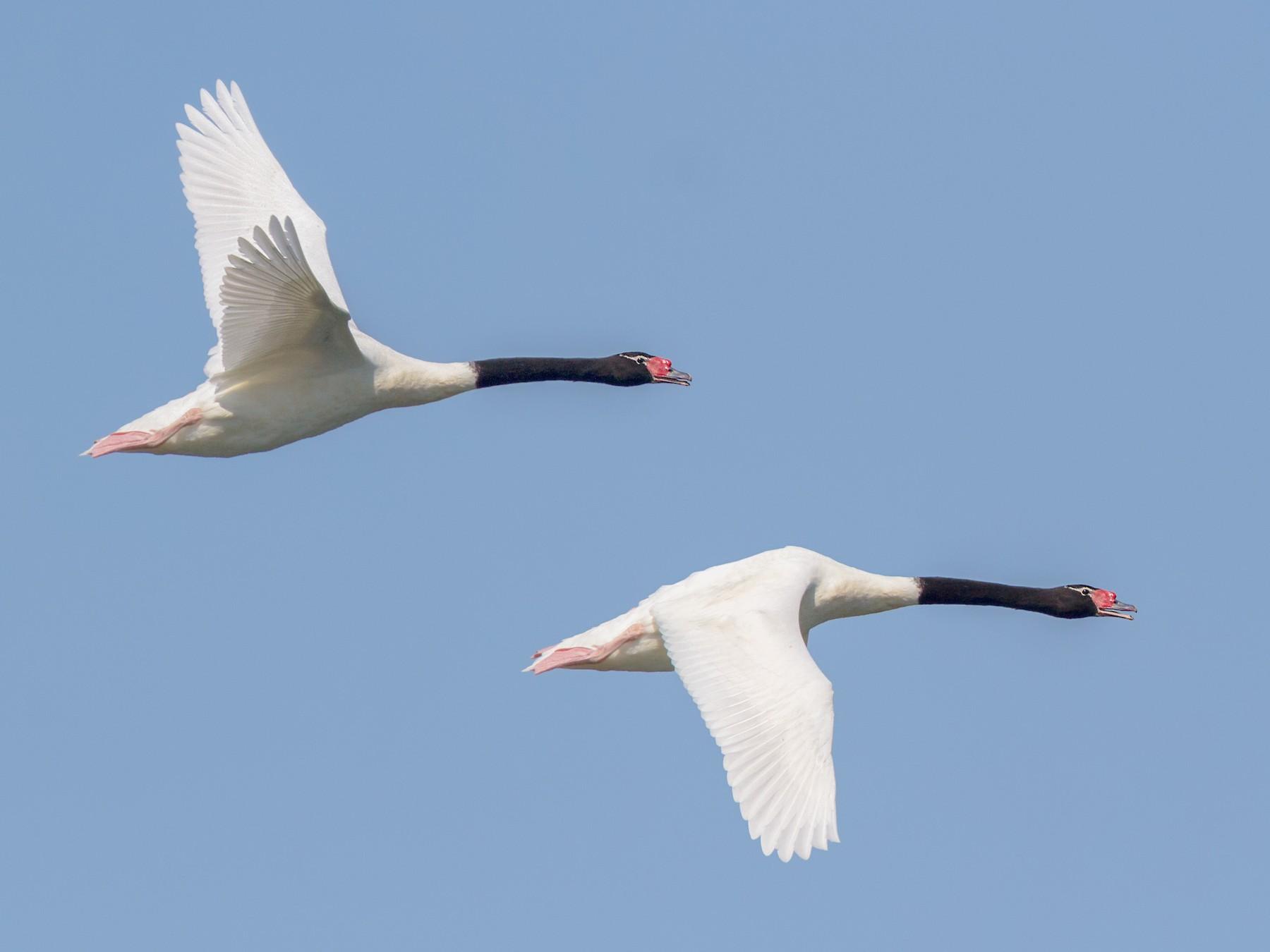 Black-necked Swan - Pio Marshall