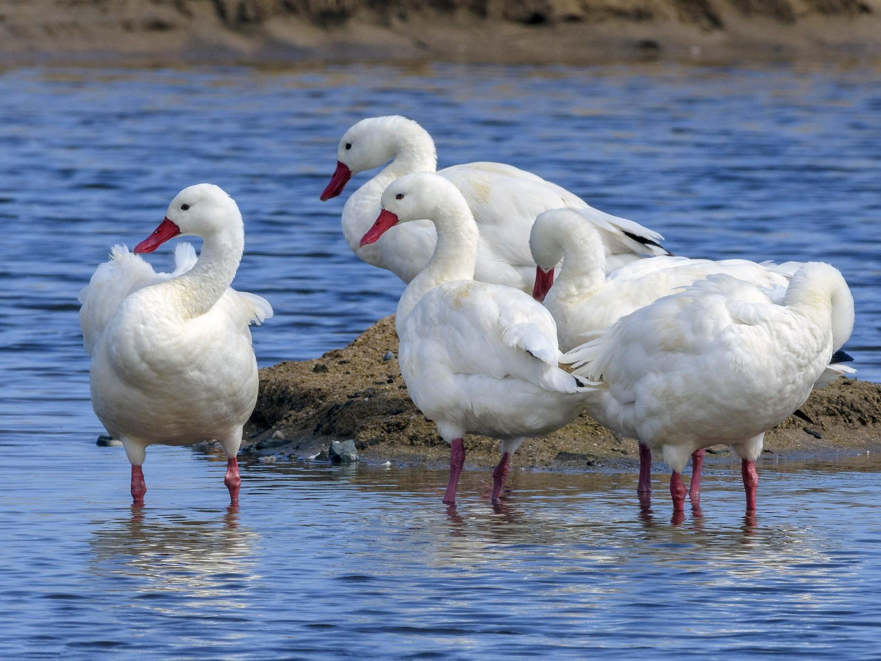 Coscoroba Swan - VERONICA ARAYA GARCIA