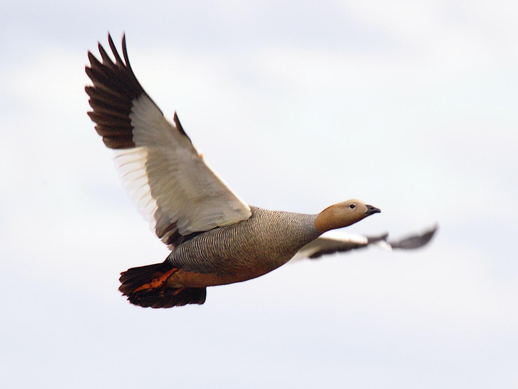 Ruddy-headed Goose - Etienne Artigau