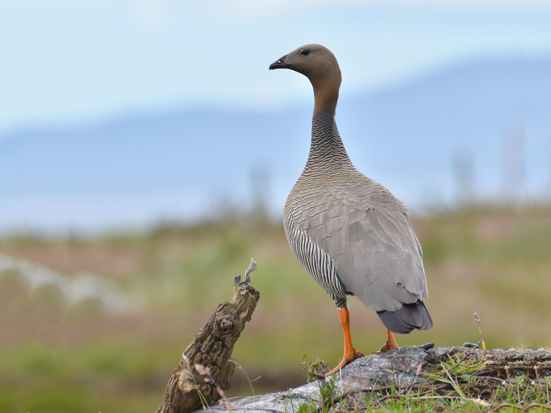 Ruddy-headed Goose - Natacha  Francisca