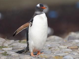 - Gentoo Penguin