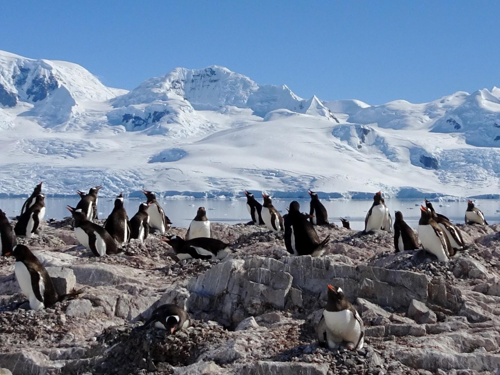 Gentoo Penguin - Michael Schrimpf