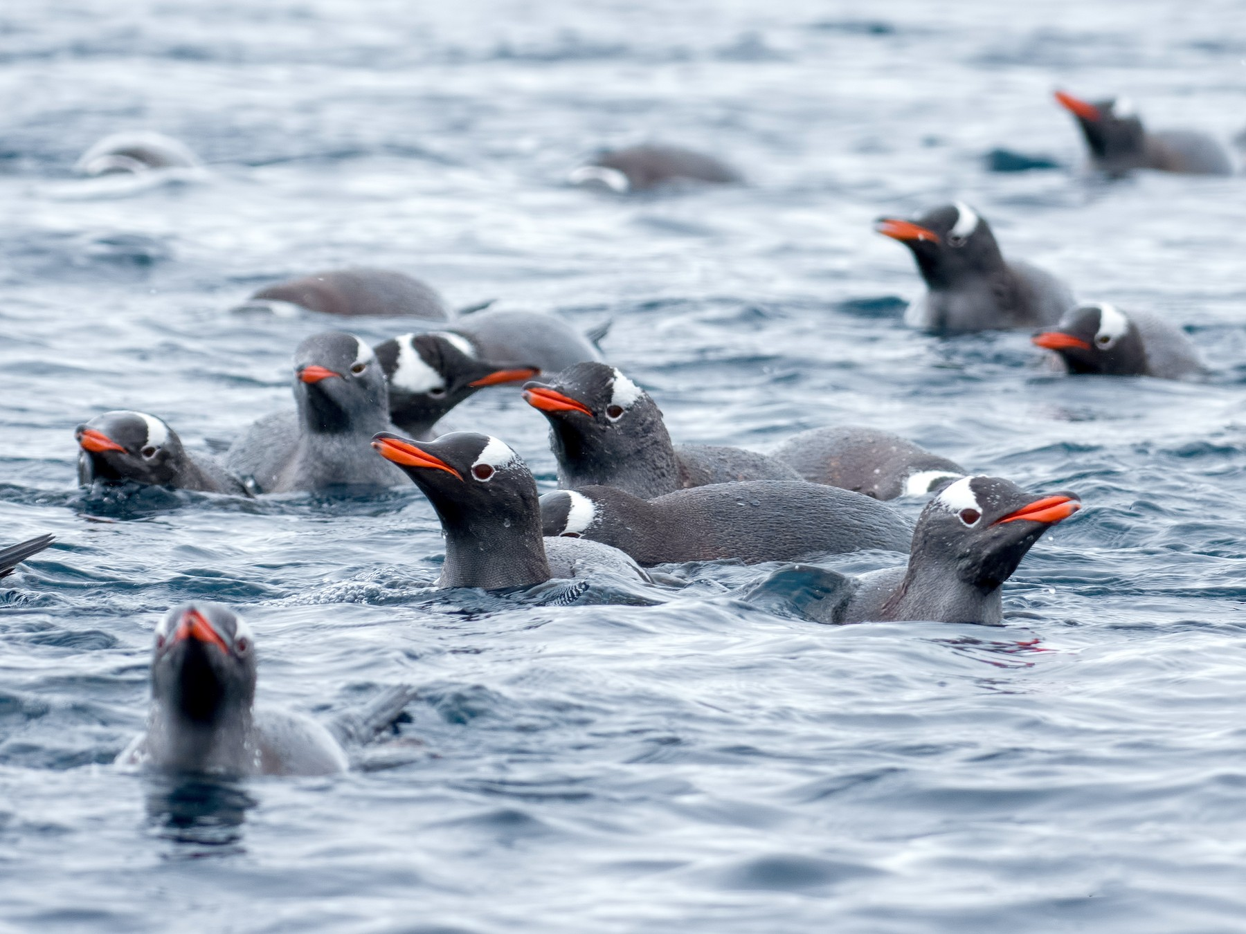 Gentoo Penguin - Shailesh Pinto
