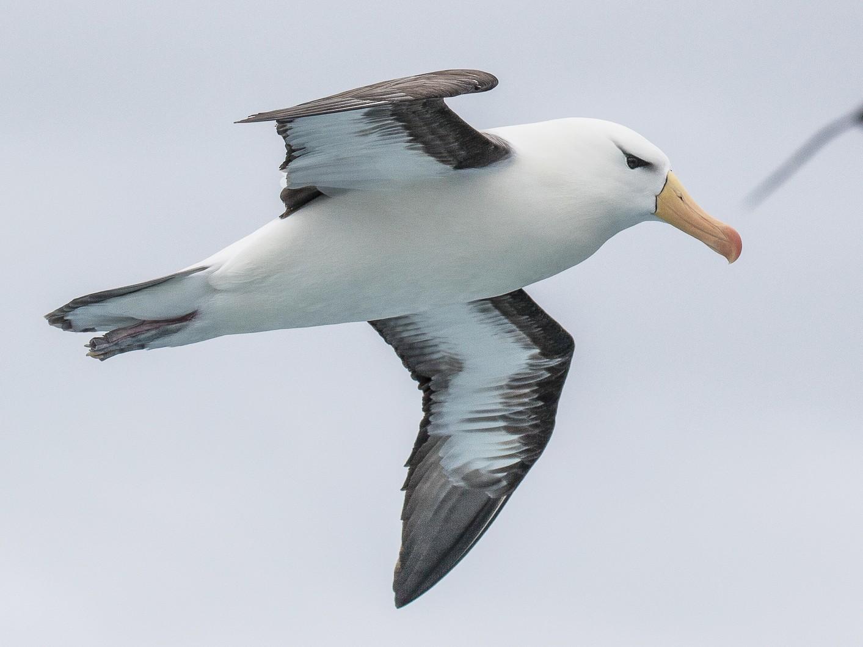Black-browed Albatross - Peter Crook