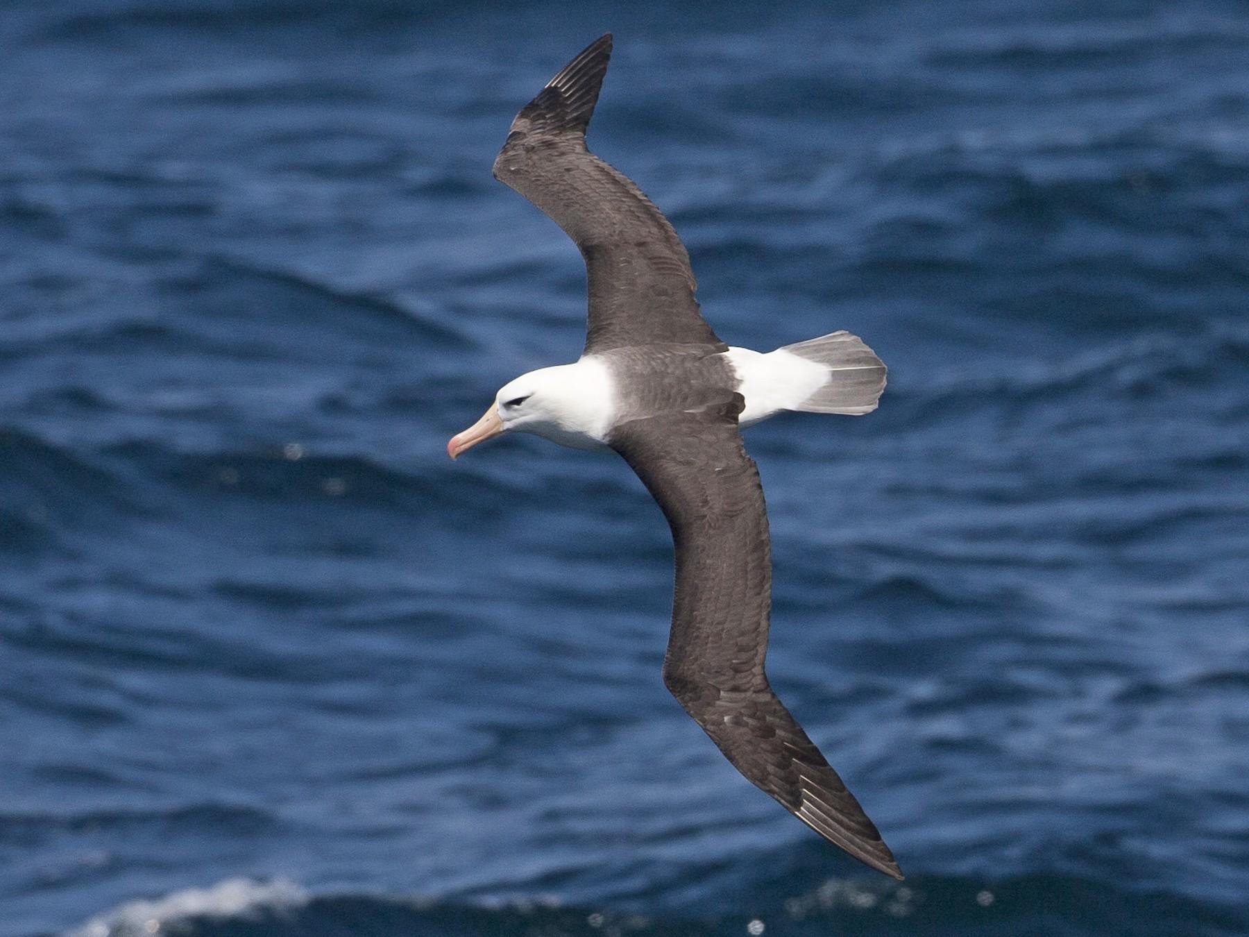 Black-browed Albatross - Brian Sullivan