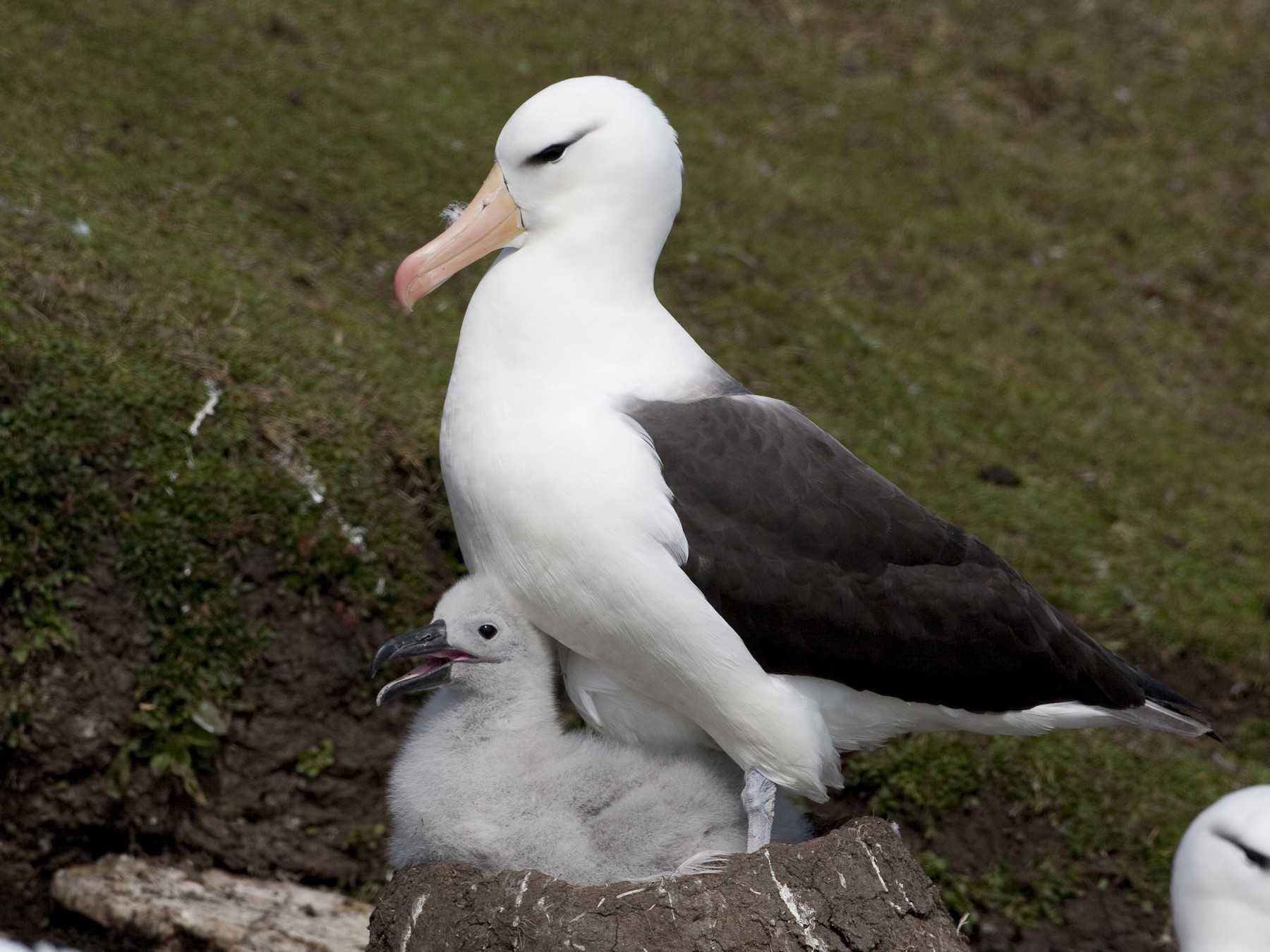 Black-browed Albatross - eBird