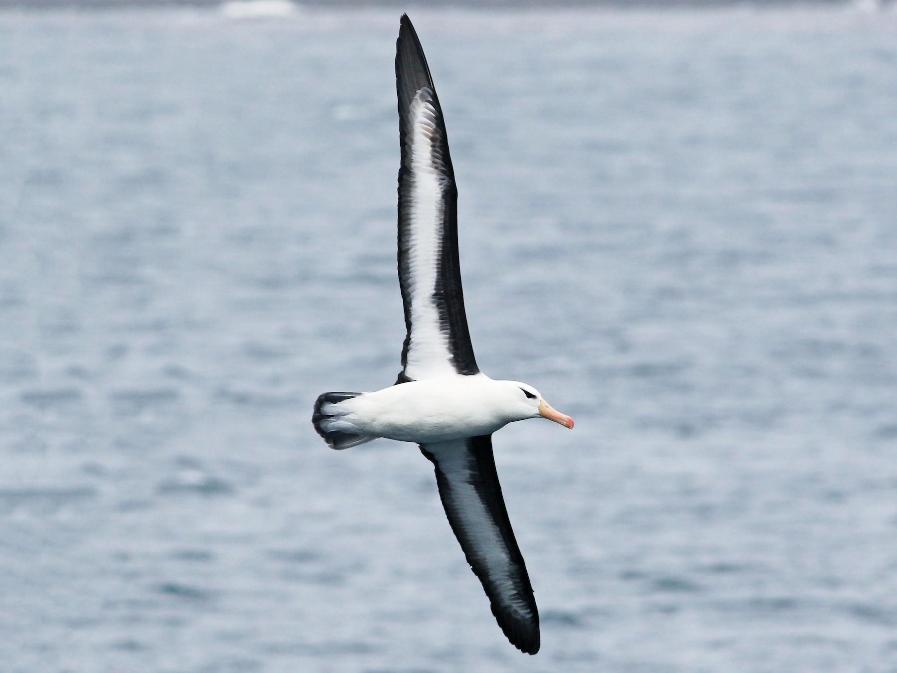 Black-browed Albatross - Andrew Spencer