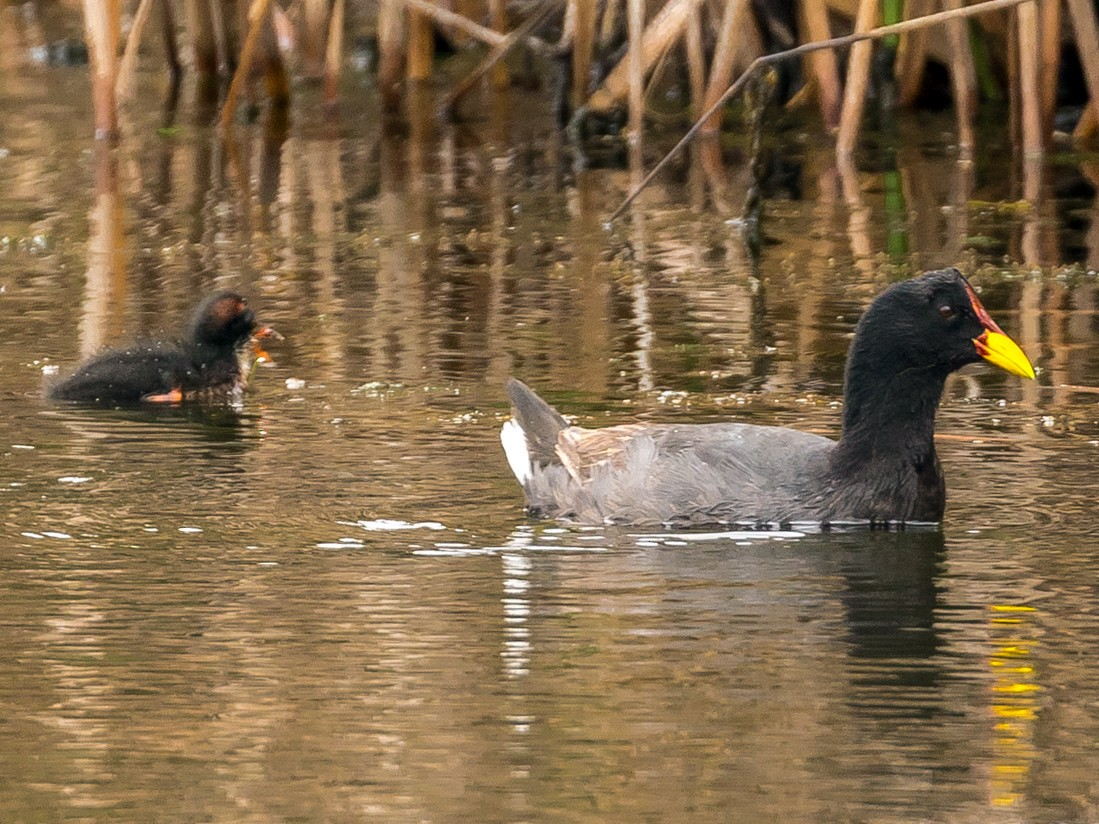 Red-fronted Coot - John Reynolds