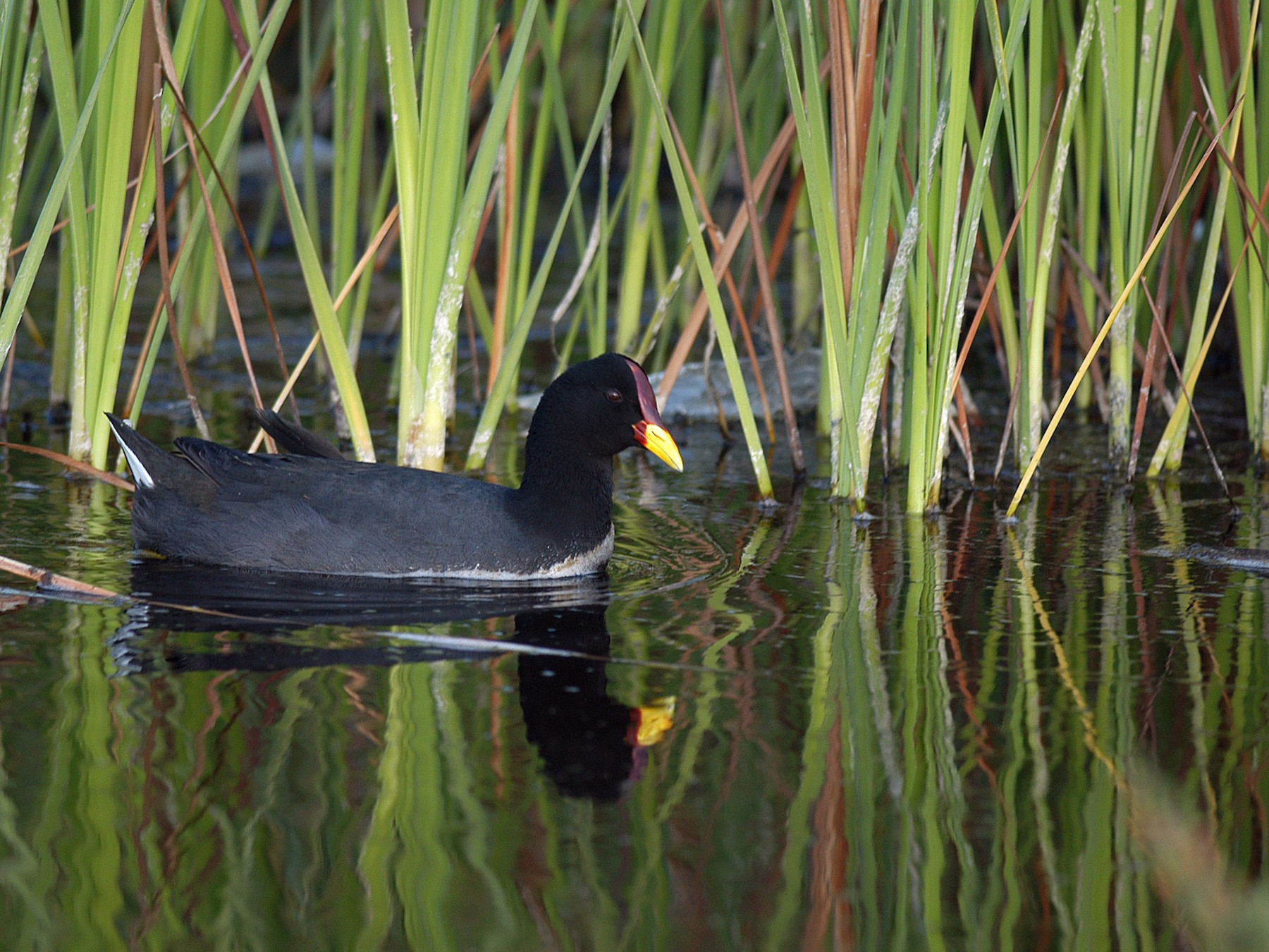 Red-fronted Coot - Etienne Artigau