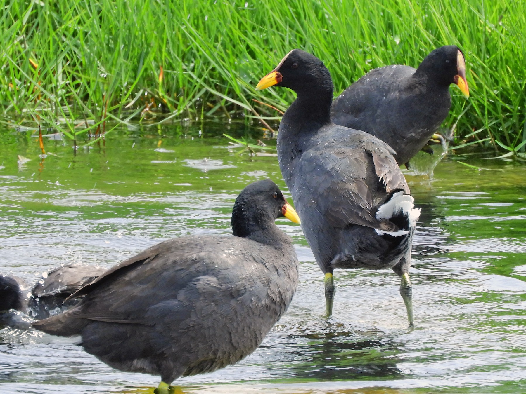 Red-fronted Coot - Nico Mercado (RedAves)