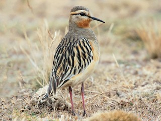 - Tawny-throated Dotterel