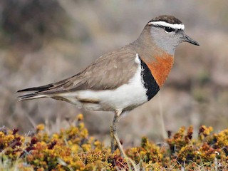 - Rufous-chested Dotterel