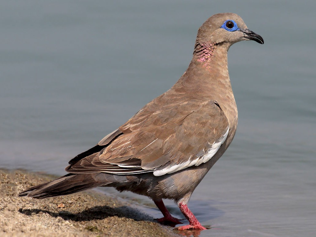 West Peruvian Dove - Alec Earnshaw