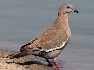 - West Peruvian Dove