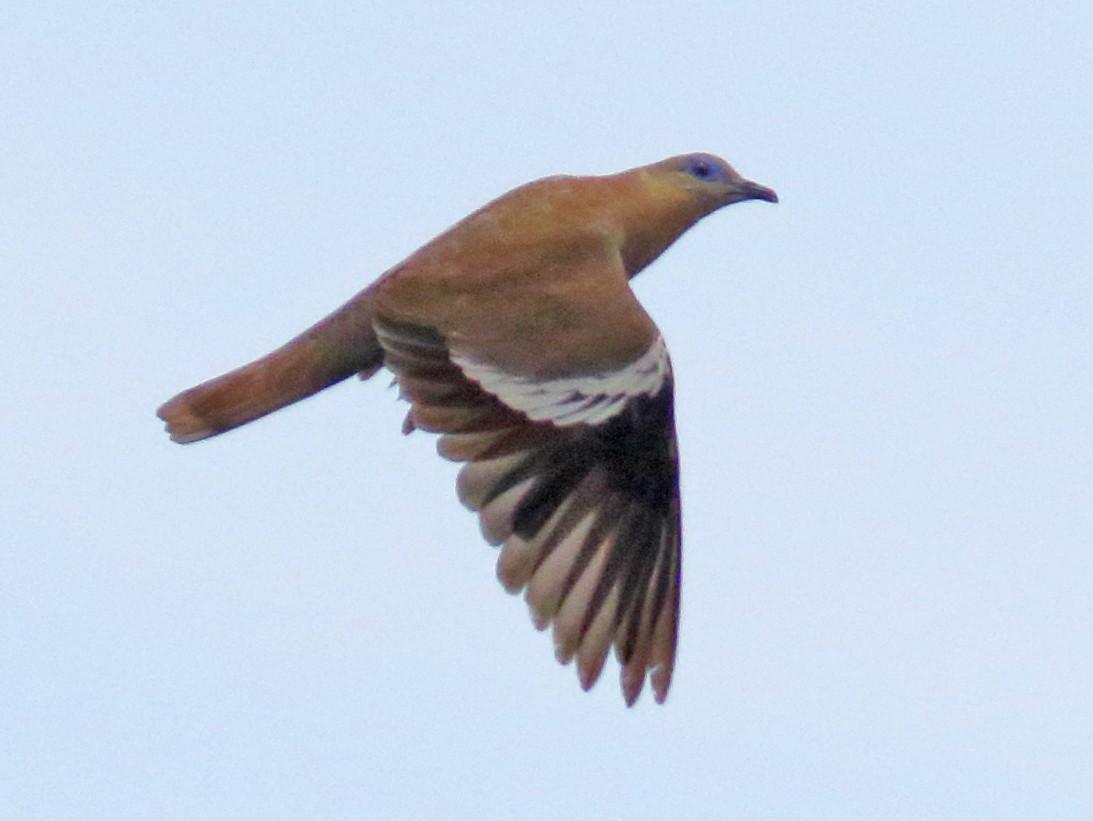 West Peruvian Dove - Douglas Faulder