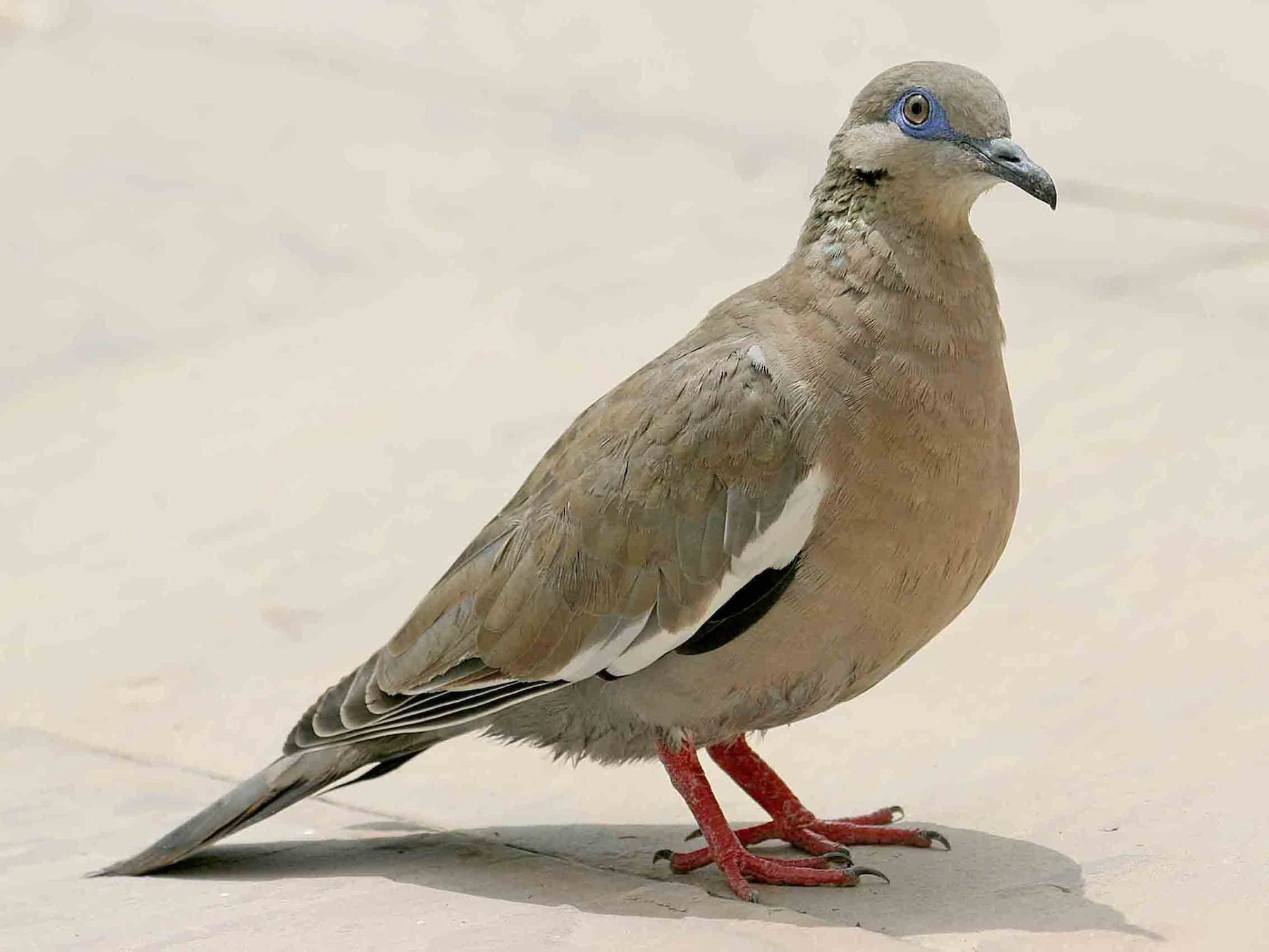 West Peruvian Dove - Michael Dvorak