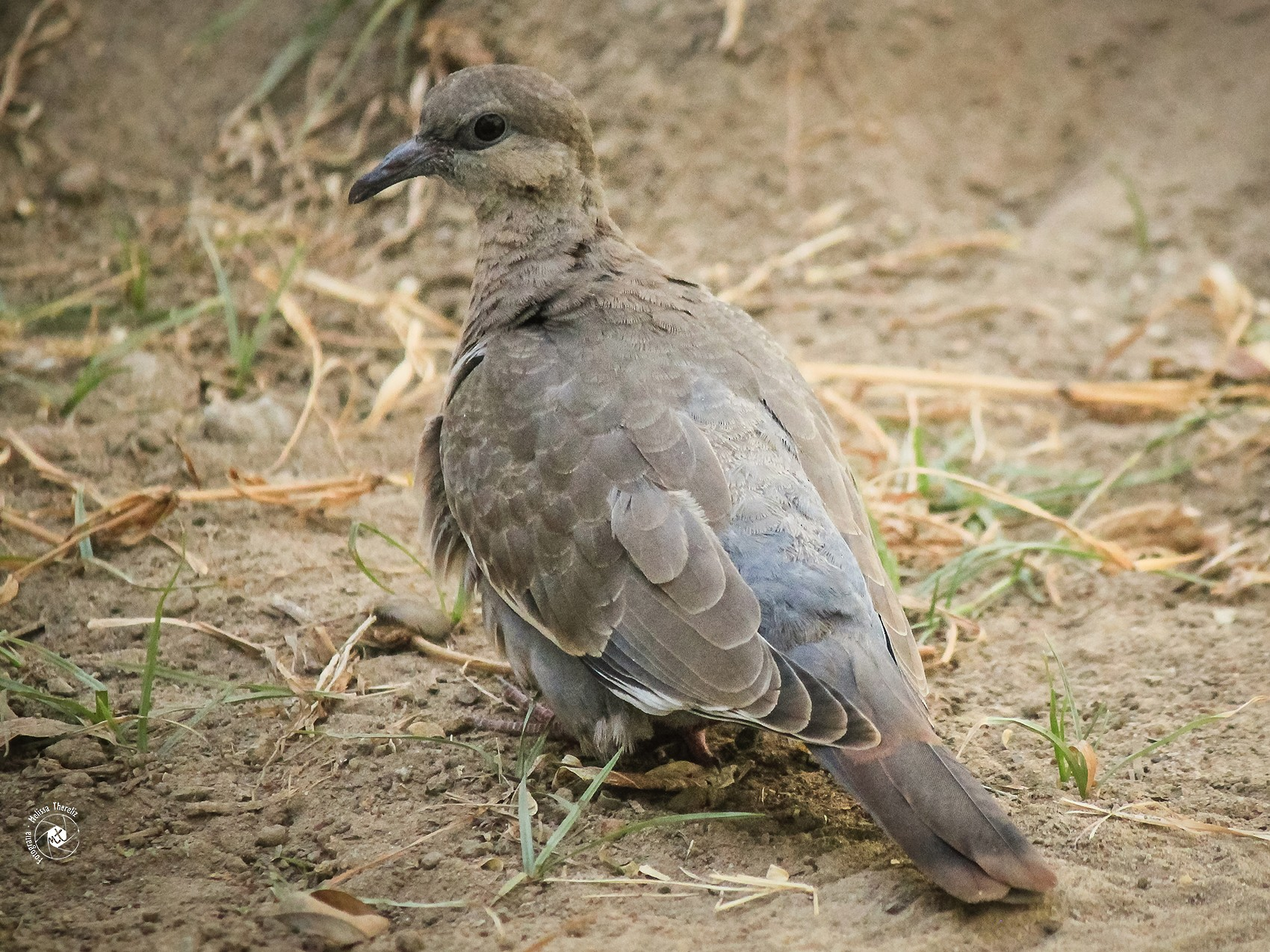 West Peruvian Dove - Melissa Thereliz
