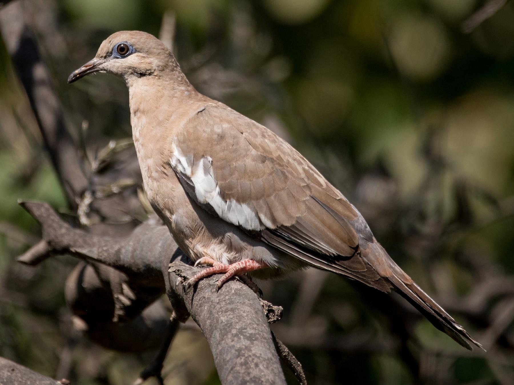 West Peruvian Dove - Vicente Pantoja Maggi