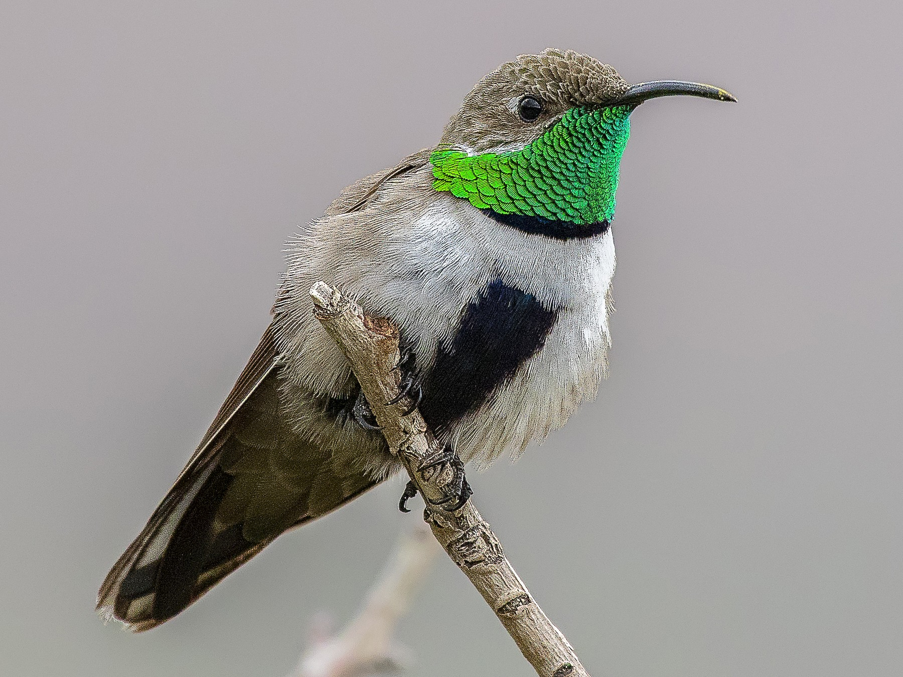 White-sided Hillstar - Pio Marshall