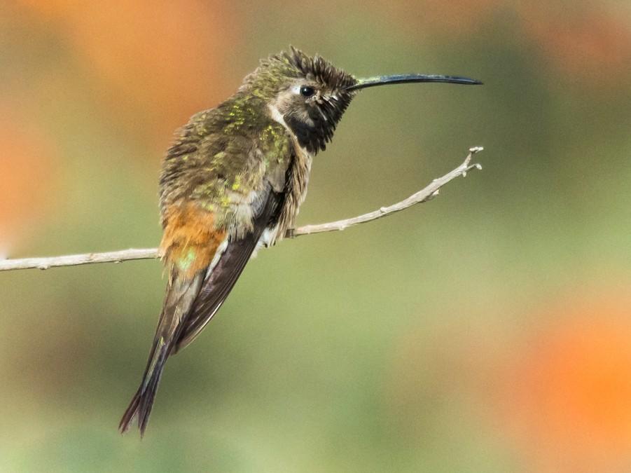 Oasis Hummingbird - Pablo Galdames