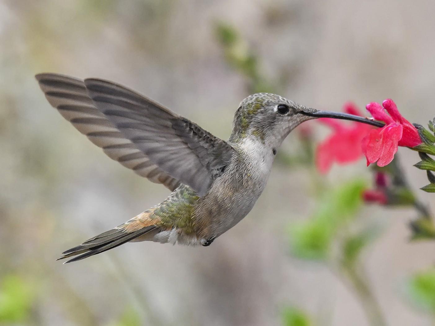 Oasis Hummingbird - VERONICA ARAYA GARCIA