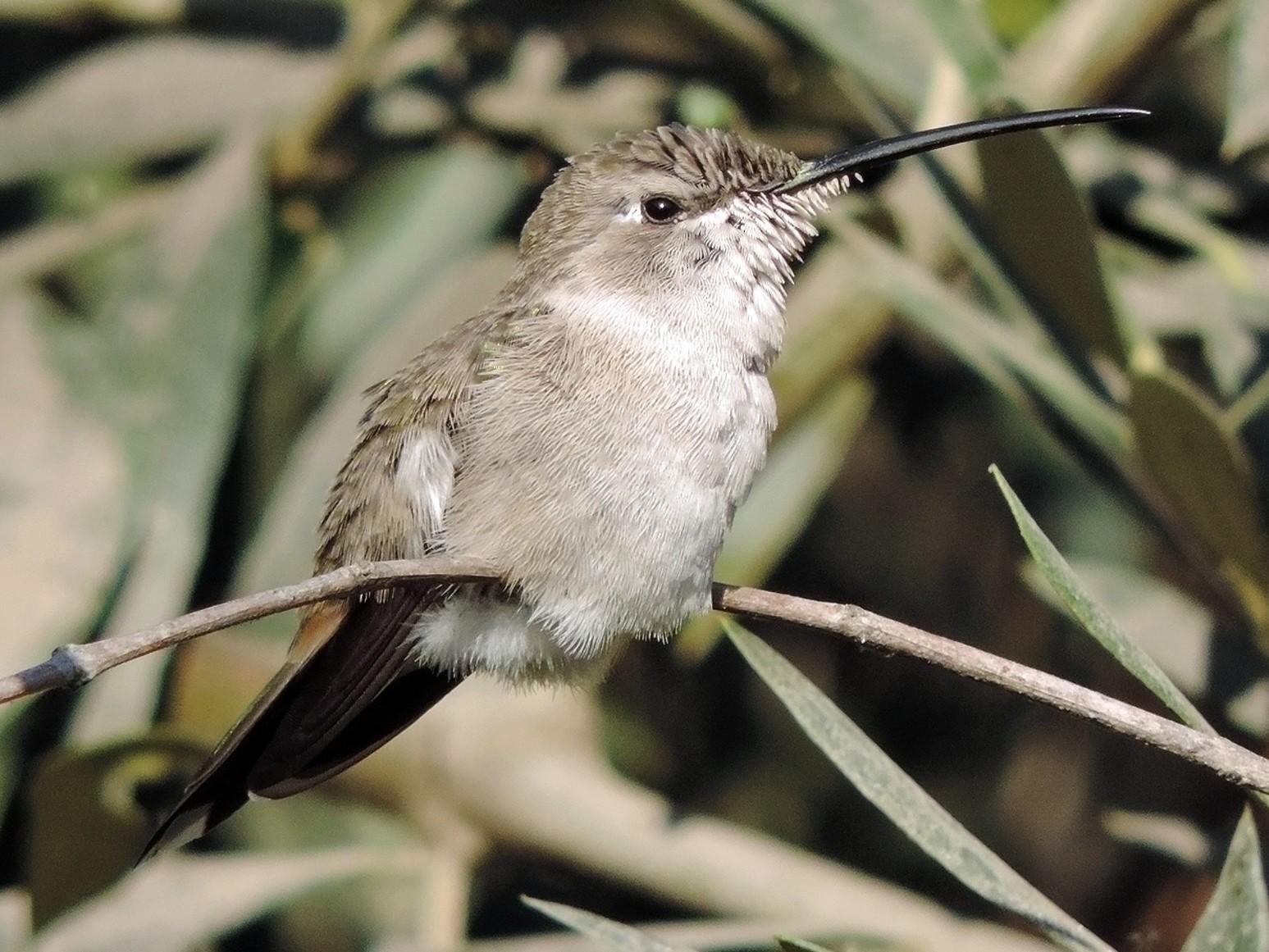 Oasis Hummingbird - Christian  Araos