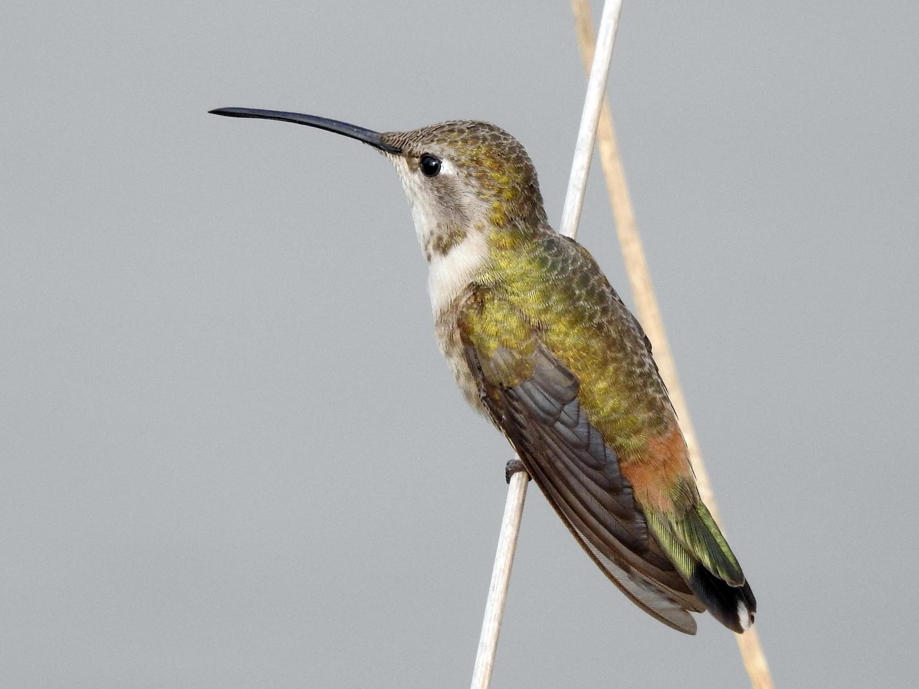 Oasis Hummingbird - Saskia Hostens