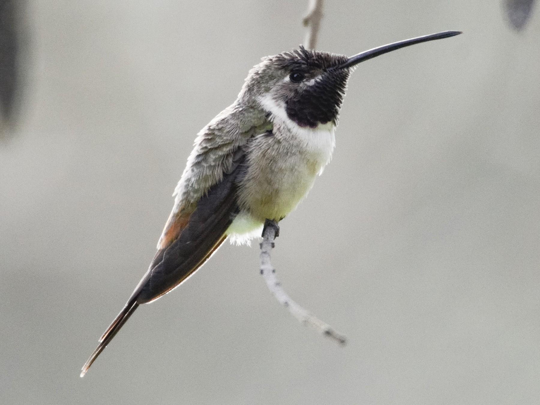 Oasis Hummingbird - Valeria  Martins
