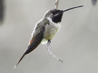 - Oasis Hummingbird