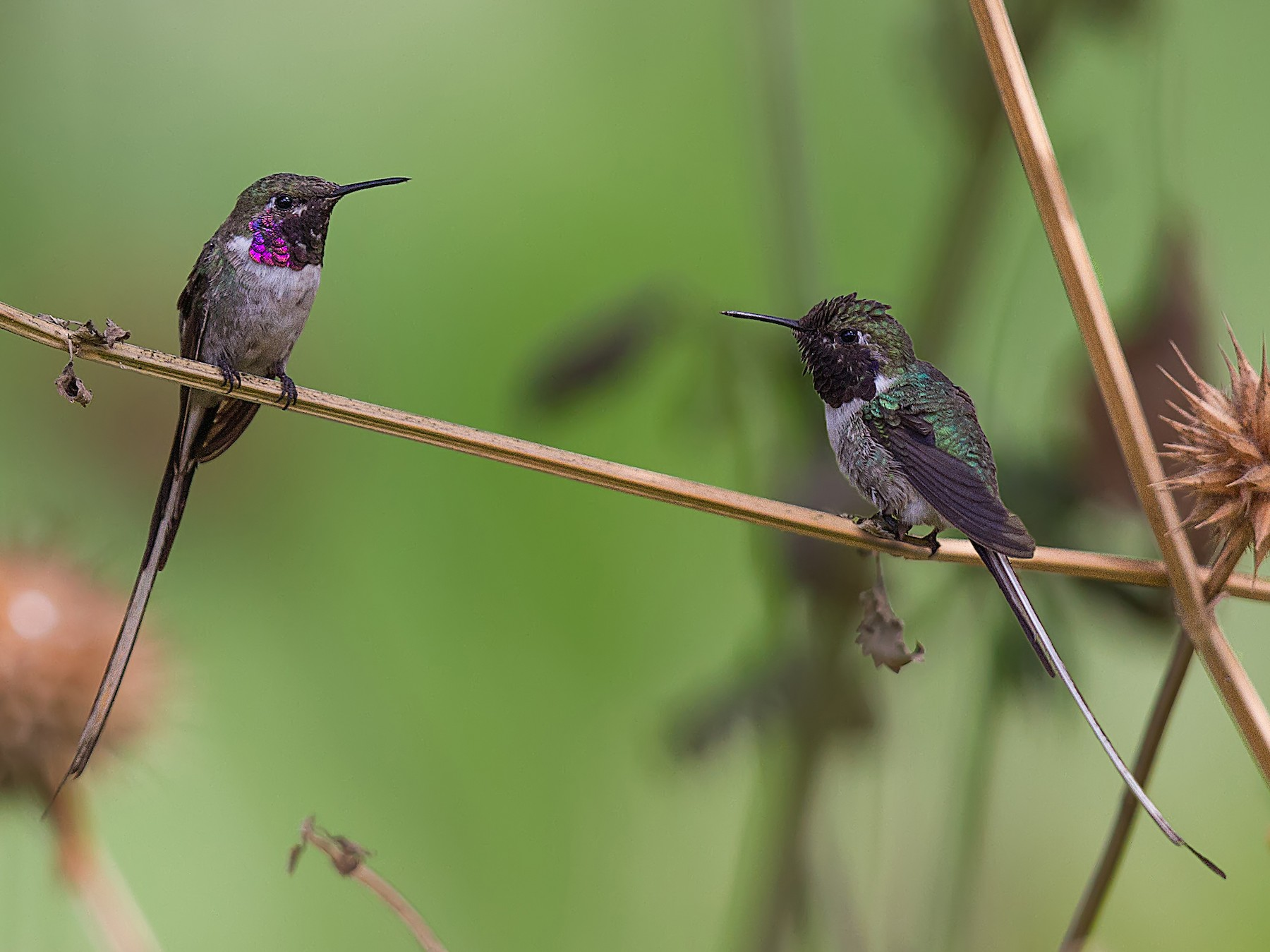 Peruvian Sheartail - Pio Marshall