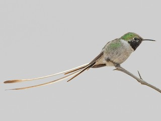 - Peruvian Sheartail