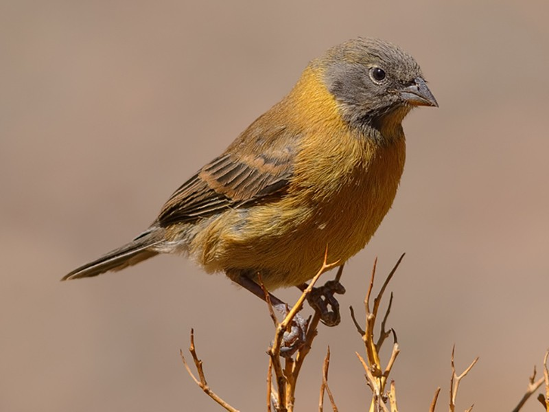 Black-hooded Sierra-Finch - Freddy Olivares - (REDAVES)