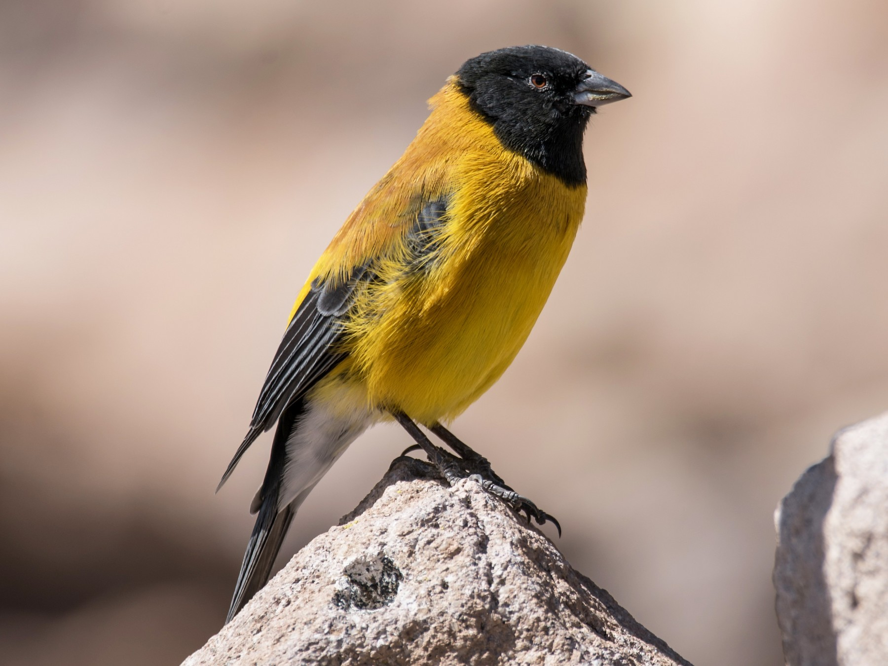 Black-hooded Sierra-Finch - Vicente Pantoja Maggi