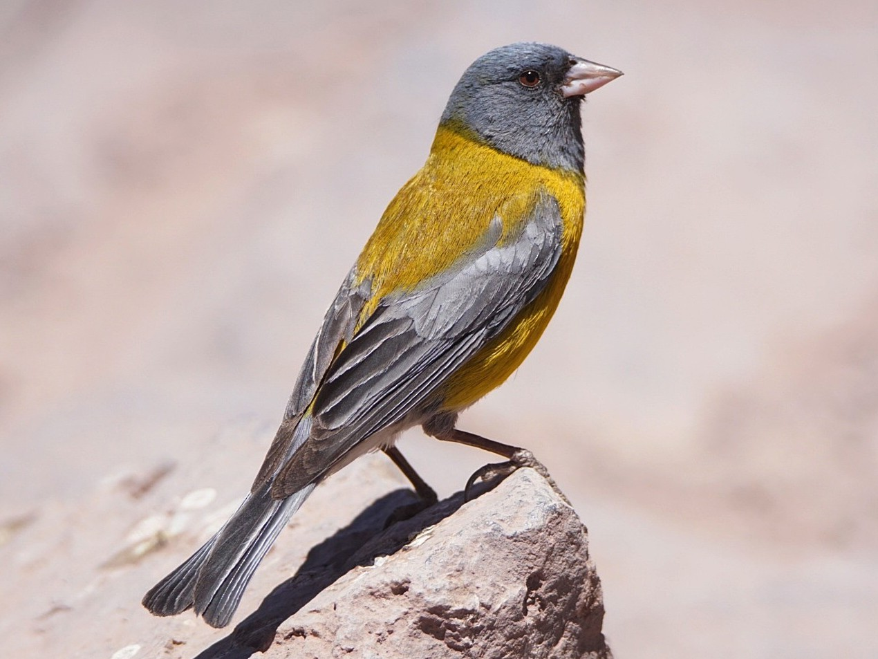 Gray-hooded Sierra-Finch - marcelo muñoz