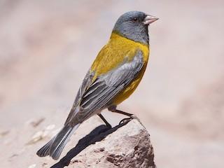 - Gray-hooded Sierra-Finch