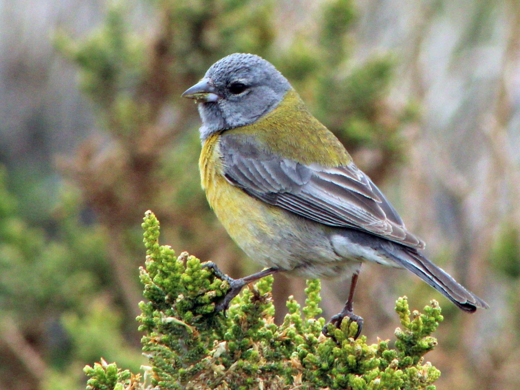 Gray-hooded Sierra-Finch - Matías Garrido