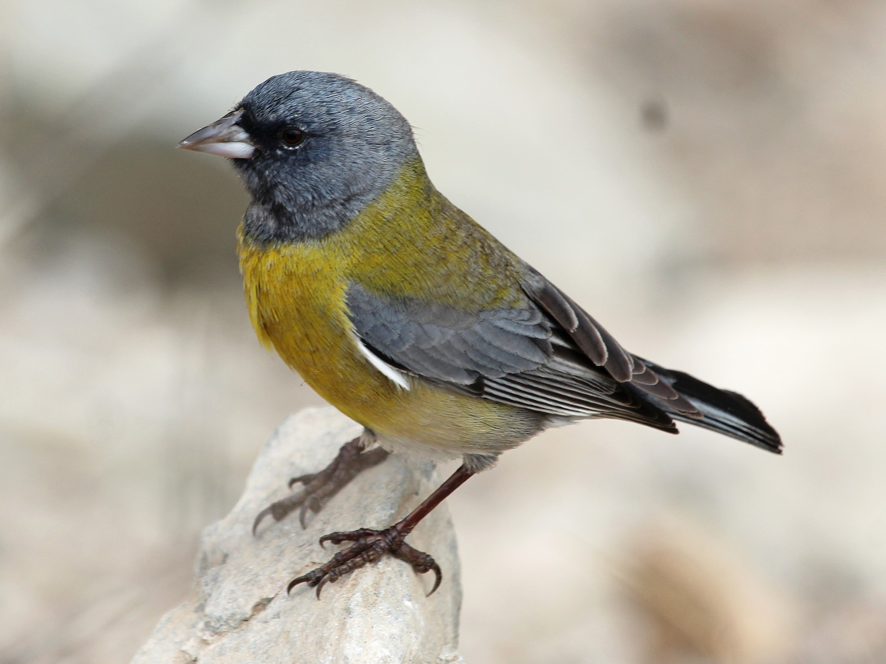 Gray-hooded Sierra-Finch - Juan Mauricio Contreras