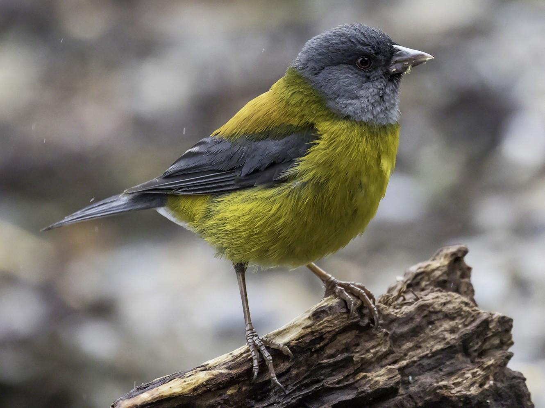 Patagonian Sierra-Finch - Thomas Kallmeyer